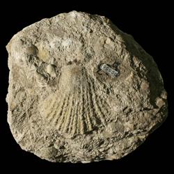 Pterinopectinella welleri