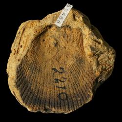 Limipecten wewokanus