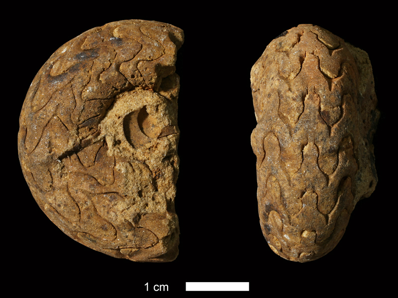 <i>Pseudoparalegoceras williamsi</i> from the Atoka Fm. of Coal County, Oklahoma (KUMIP 65634).