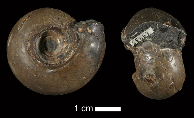 <i>Eoasianites welleri</i> from the Cherokee Shale of Henry County, Missouri (KUMIP 65933).