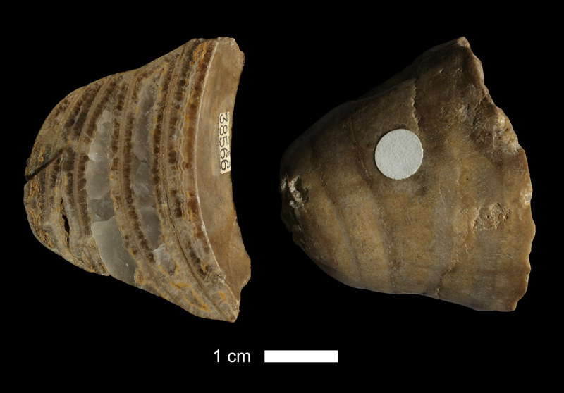 <i>Brachycycloceras cf. curtum</i> from the Drum Limestone of Montgomery County, Kansas (KUMIP 38566).
