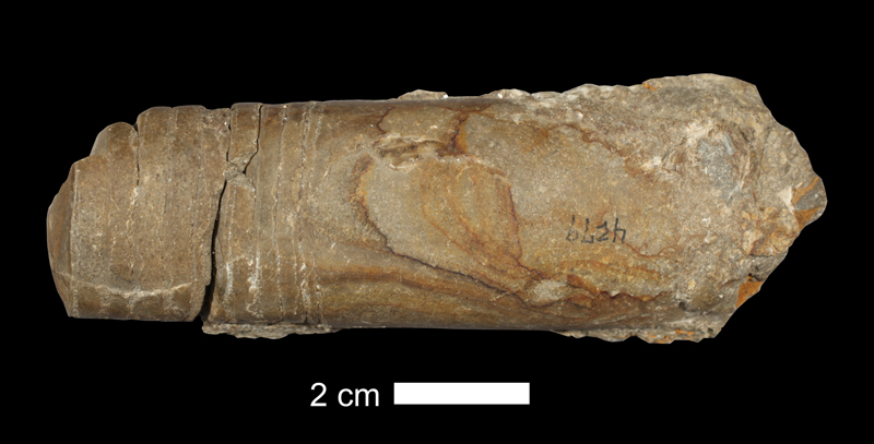 <i>Mooreoceras kansasense</i> from an unknown formation in Jackson County, Missouri (KUMIP 38584).