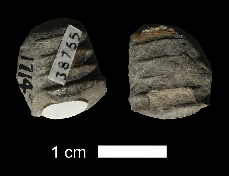 <i>Brachycycloceras normale</i> from the Stanton Limestone of Montgomery County, Kansas (KUMIP 38765).