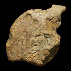 Gonioloboceras goniolobum