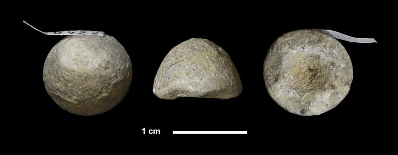 <i>Agassizocrinus carbonarius</i>? from the Virgilian Lawrence Fm. (Haskell Limestone or Ireland Shale) of Douglas County, Kansas (KUMIP 224880).