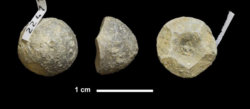 <i>Agassizocrinus sp.</i> from the Virgilian Lawrence Fm. of Douglas County, Kansas (KUMIP 224712).