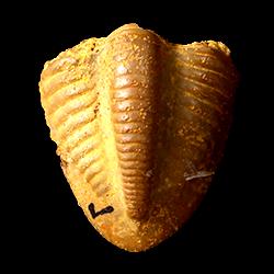 Ameura missouriensis