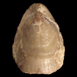 Beecheria