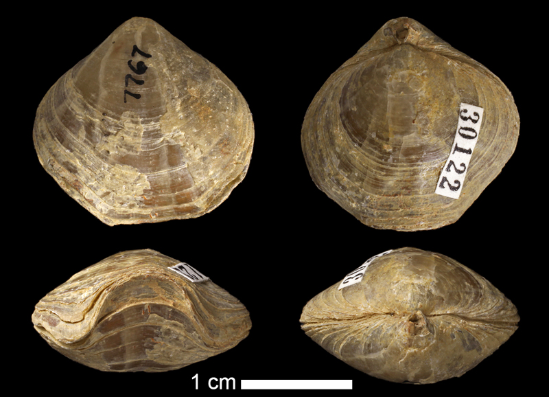<i>Composita sp.</i> from the Graham Fm. of Jack County, Texas (KUMIP 30122).