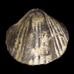 Cryptospirifer
