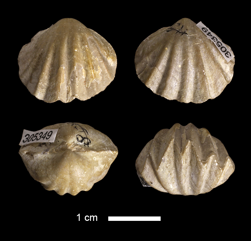 <i>Enteletes pugnoides</i> from the Stanton Limestone of the Anderson County, Kansas (KUMIP 305349).