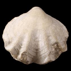 Brachiopoda-Articulata
