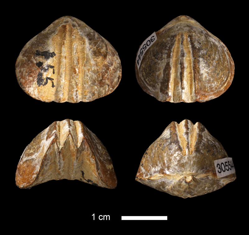 <i>Leiorhynchus rockymontanus</i> from the Wetumka Shale of Johnston County, Oklahoma (KUMIP 305544).