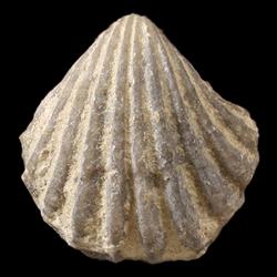 Neoretziidae