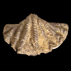 Reticulariinidae