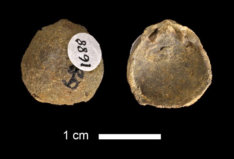 <i>Rhipidomella sp.</i> from the Marble Falls Limestone of San Saba County, Texas (KUMIP 1688).