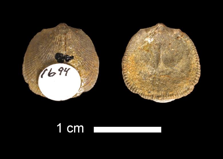 <i>Rhipidomella sp.</i> from the Marble Falls Limestone of San Saba County, Texas (KUMIP 1694).