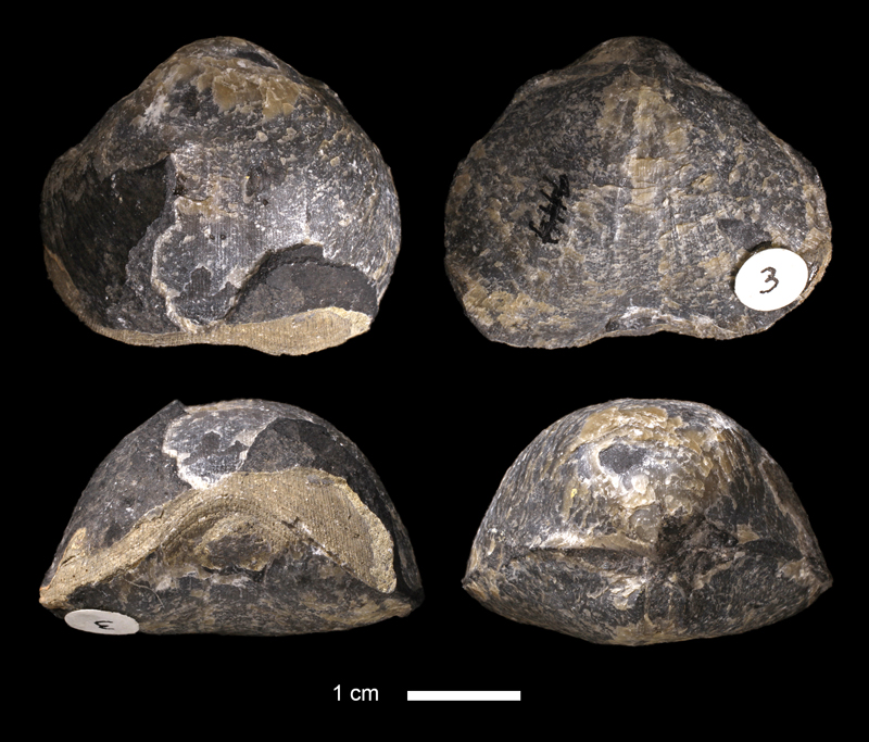 <i>Schizophoria sp.</i> from the Marble Falls Limestone of San Saba County, Texas (KUMIP 3).