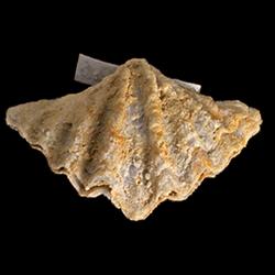 Spiriferellinidae