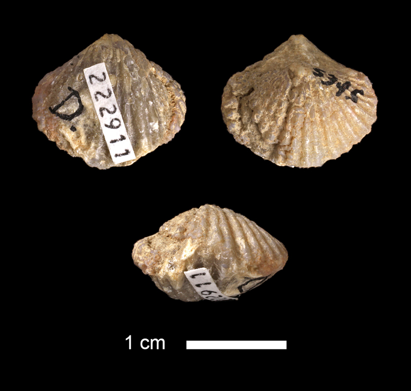 <i>Spirifer rockymontanus</i> from an unknown formation in the Magdalena Group of New Mexico (KUMIP 222911).