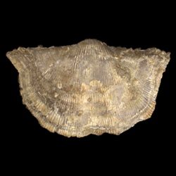 Anopliidae
