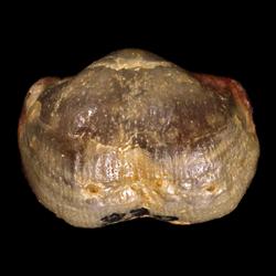 Hystriculina