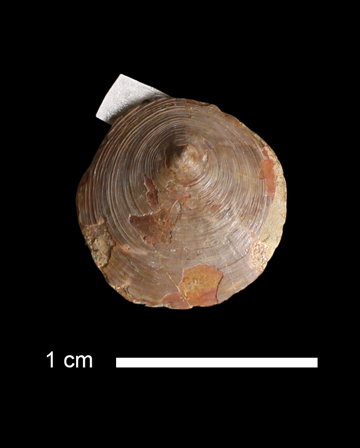 <i>Orbiculoidea sp.</i> from the Boggy Fm. of Pontotoc County, Oklahoma (KUMIP 61951).
