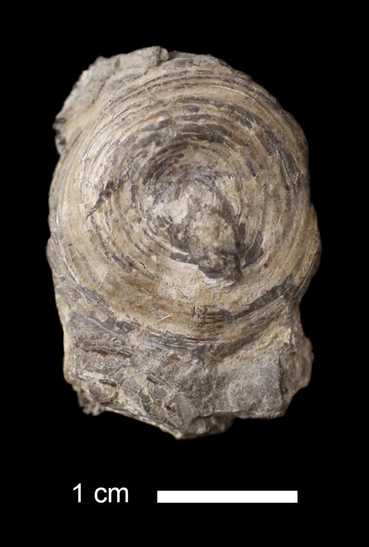 <i>Orbiculoidea convexa</i> from the Iola Limestone of Jackson County, Missouri (KUMIP 72334).
