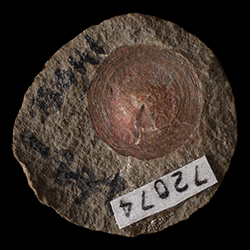 Orbiculoidea missouriensis