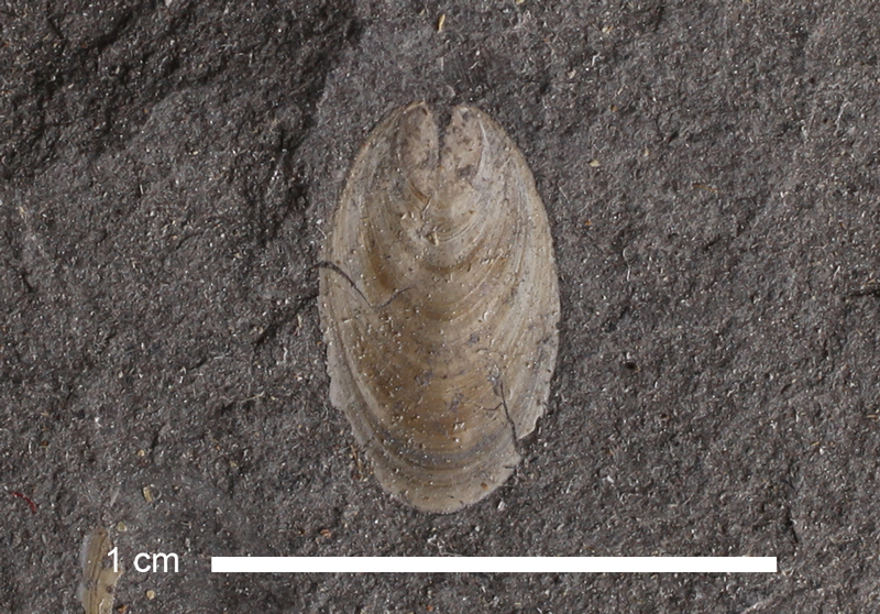 <i>Lingula sp.</i> from the Stranger Fm. of Kansas (KUMIP 73851).