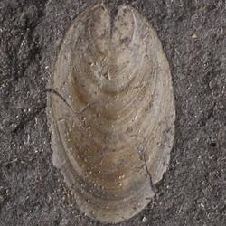 Lingulidae
