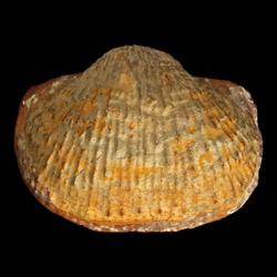 Buxtonia