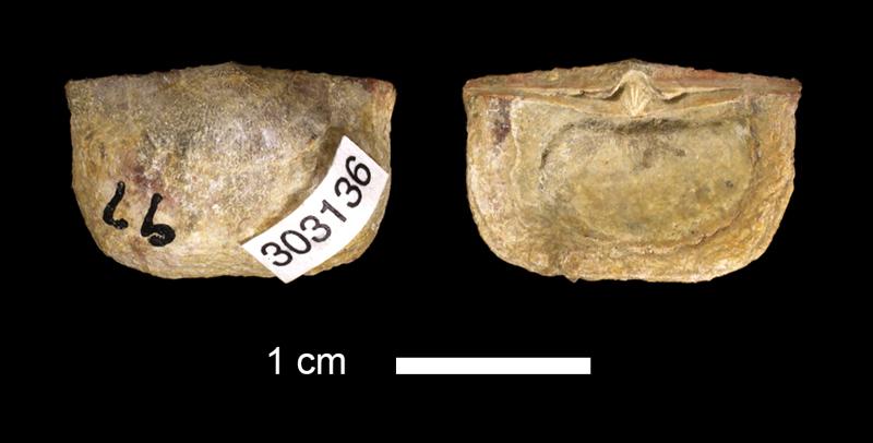 <i>Chonetes dominus</i> from the Marble Falls Limestone of San Saba County, Texas (KUMIP 303136).