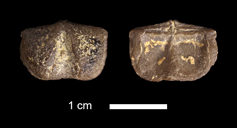<i>Chonetina primitiva</i> from the Salesville Shale of Palo Pinto County, Texas (KUMIP 332233).