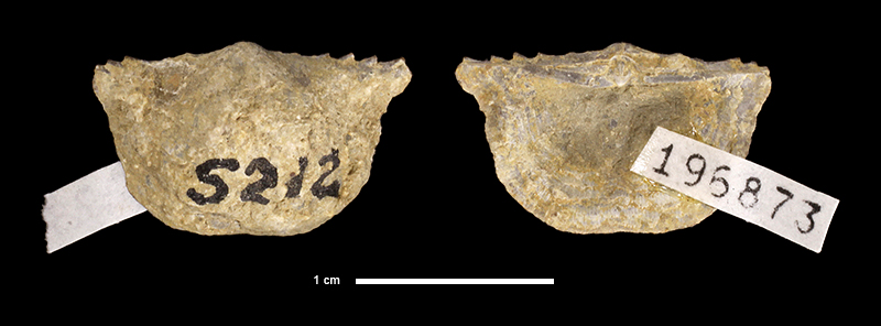 <i>Chonetinella alata</i> from an unknown formation in Neosho County, Kansas (KUMIP 196873).