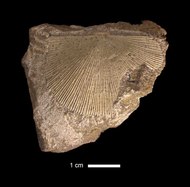 <i>Derbyoides nebrascensis</i> from the Stanton Limestone of Wilson County, Kansas (KUMIP 209421).