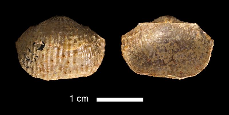 <i>Desmoinesia sp.</i> from the Wetumka Shale of Johnston County, Oklahoma (KUMIP 23550).