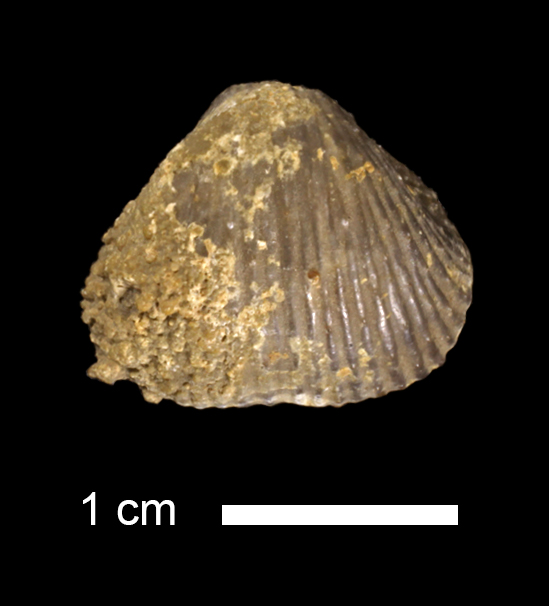 <i>Diaphragmus fasciculatus</i> from the Coal Measures of Osage County, Kansas (KUMIP 277826).