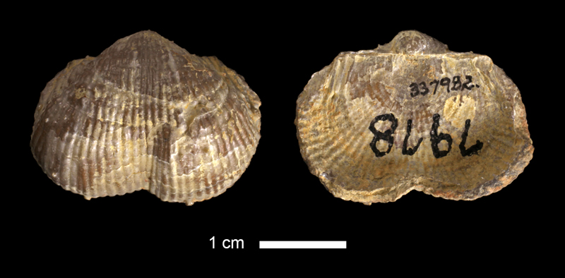 <i>Dictyoclostus sp.</i> from the Keechi Creek Fm. of Palo Pinto County, Texas (KUMIP 337982).