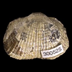 Dictyoclostus portlocklanus