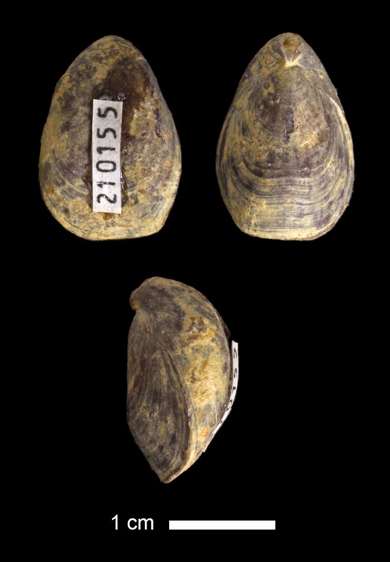 <i>Dielasma sp.</i> from the Lecompton Limestone of Douglas County, Kansas (KUMIP 210155).