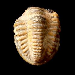 Proetidae