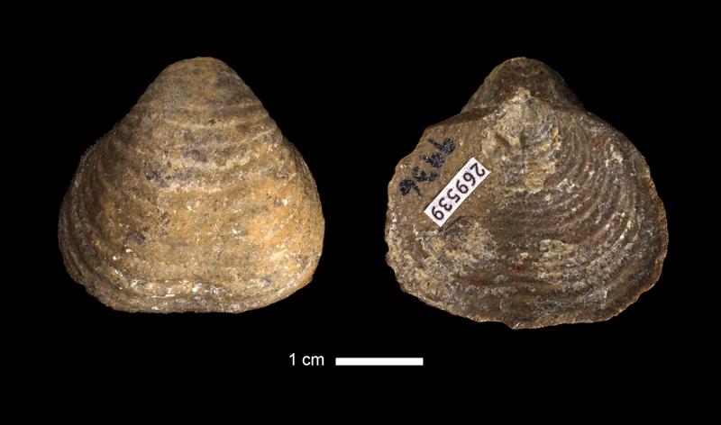 <i>Echinoconchus sp.</i> from the Stanton Limestone of Franklin County, Kansas (KUMIP 269539).