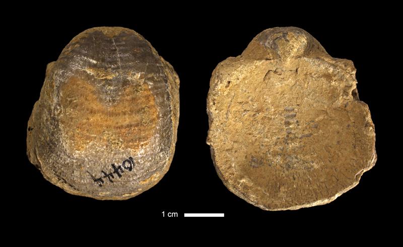 <i>Echinoconchus semipunctatus</i> from an unknown formation of Wyandotte County, Kansas (KUMIP 320632).