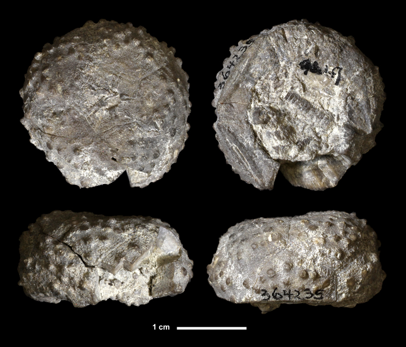 <i>Ethelocrinus oklahomensis</i> from the Bloyd Shale of Cherokee County, Oklahoma (KUMIP 364235).