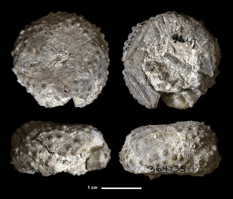 <i>Ethelocrinus oklahomensis</i> from the Bloyd Shale of Cherokee County, Oklahoma (KUMIP 364235).