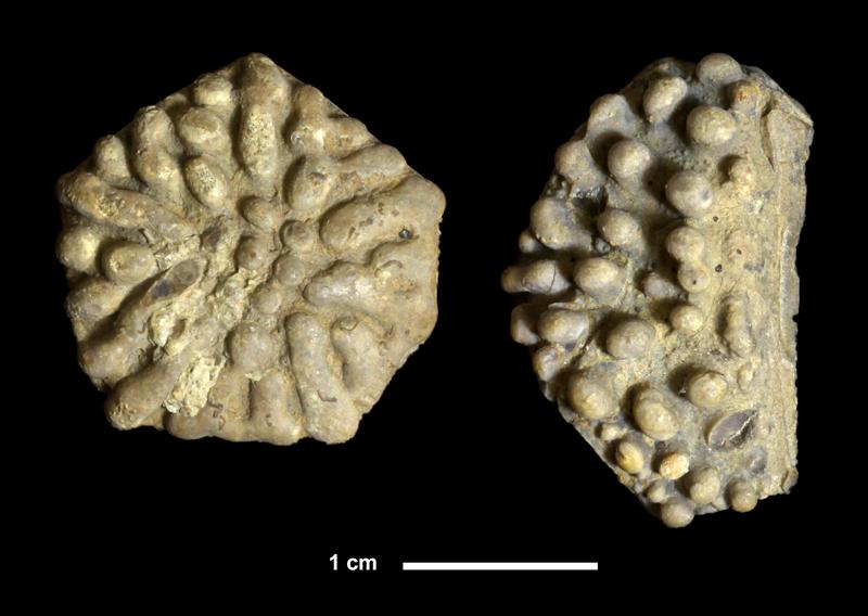 <i>Eupachycrinus sp.</i> from the Wewoka Shale of Okfuskee County, Oklahoma (KUMIP 337845, 337846).