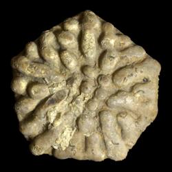 Eupachycrinus