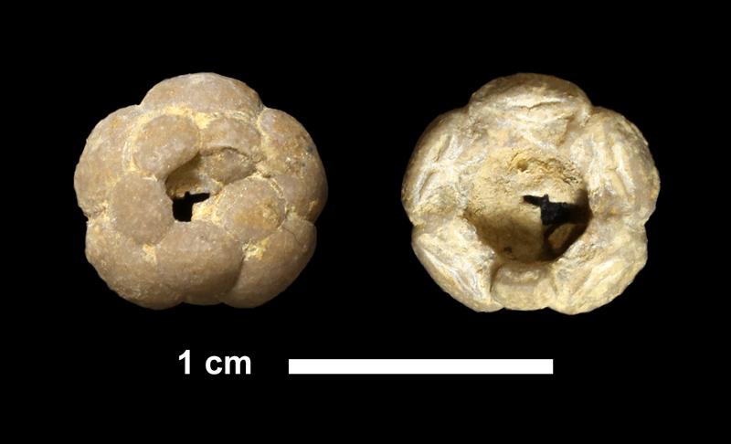 <i>Graphiocrinus sp.</i> from the Dennis Limestone of Montgomery County, Kansas (KUMIP 339599).