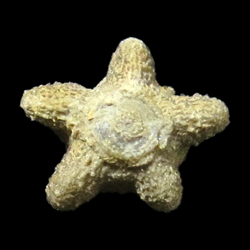 Allagecrinidae